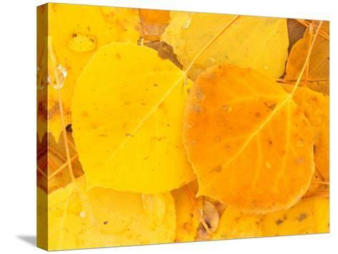 Aspen Leaves, Gunnison National Forest, Colorado, USA-Rob Tilley-Stretched Canvas Print