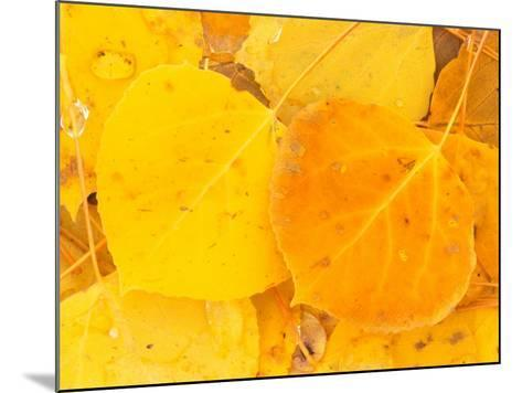 Aspen Leaves, Gunnison National Forest, Colorado, USA-Rob Tilley-Mounted Photographic Print