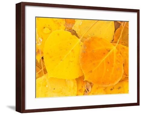 Aspen Leaves, Gunnison National Forest, Colorado, USA-Rob Tilley-Framed Art Print