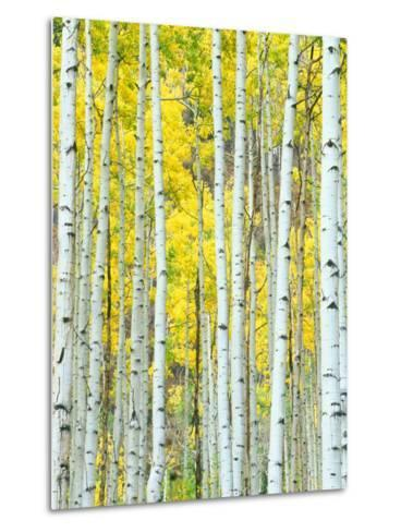Aspen Grove, White River National Forest, Colorado, USA-Rob Tilley-Metal Print