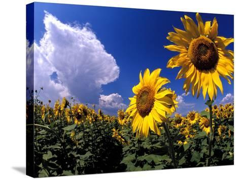 Sunflowers, Colorado, USA-Terry Eggers-Stretched Canvas Print