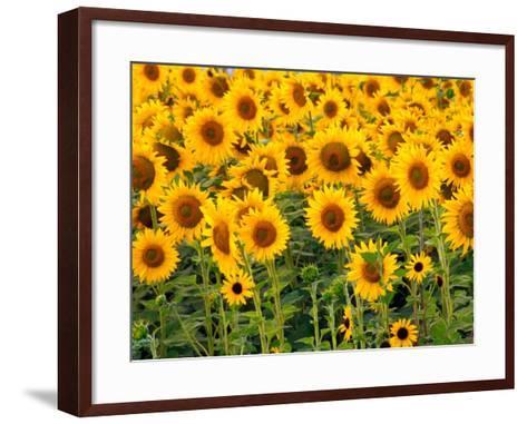Sunflowers, Colorado, USA-Terry Eggers-Framed Art Print