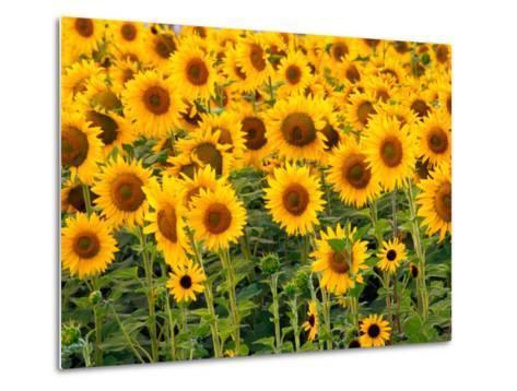 Sunflowers, Colorado, USA-Terry Eggers-Metal Print