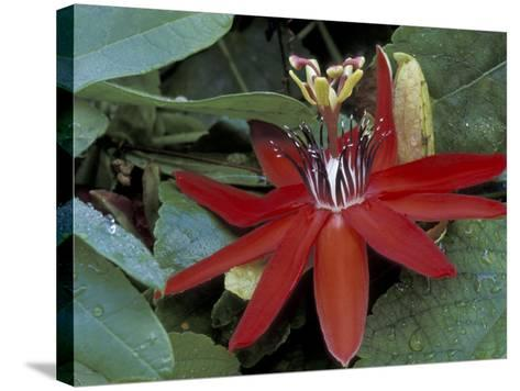 Red Passion Flower in Bloom, Selby Botantical Gardens, Sarasota, Florida, USA-Maresa Pryor-Stretched Canvas Print