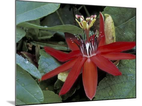 Red Passion Flower in Bloom, Selby Botantical Gardens, Sarasota, Florida, USA-Maresa Pryor-Mounted Photographic Print