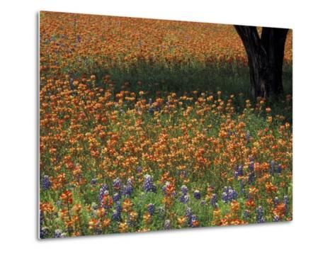 Paintbrush and Tree Trunk, Hill Country, Texas, USA-Darrell Gulin-Metal Print