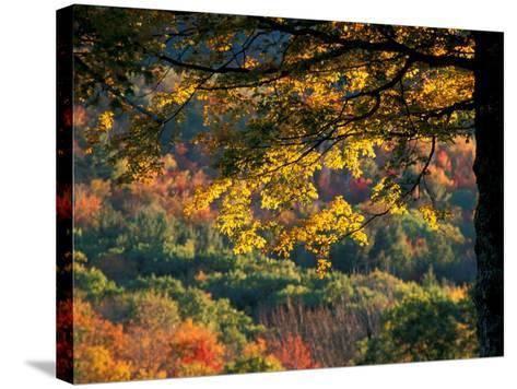 Yellow Leaves of a Sugar Maple, Green Mountains, Vermont, USA-Jerry & Marcy Monkman-Stretched Canvas Print