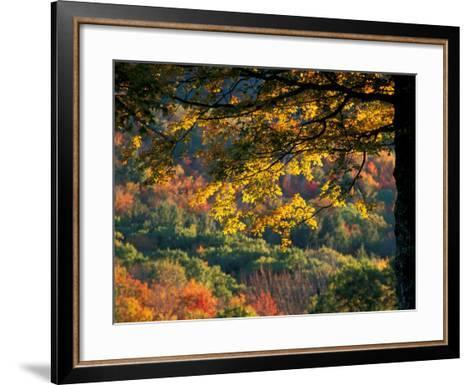Yellow Leaves of a Sugar Maple, Green Mountains, Vermont, USA-Jerry & Marcy Monkman-Framed Art Print