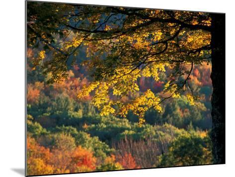 Yellow Leaves of a Sugar Maple, Green Mountains, Vermont, USA-Jerry & Marcy Monkman-Mounted Photographic Print