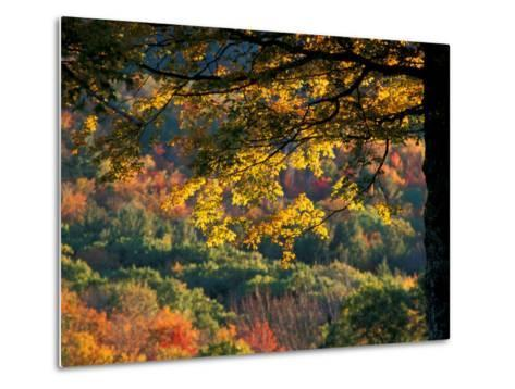 Yellow Leaves of a Sugar Maple, Green Mountains, Vermont, USA-Jerry & Marcy Monkman-Metal Print