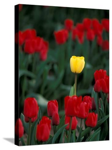 Yellow Tulip, Skagit Valley, Washington, USA-William Sutton-Stretched Canvas Print