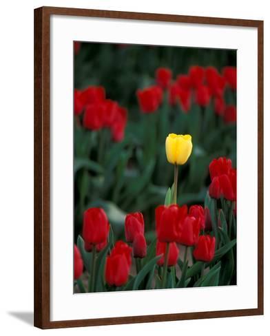 Yellow Tulip, Skagit Valley, Washington, USA-William Sutton-Framed Art Print