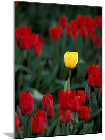 Yellow Tulip, Skagit Valley, Washington, USA-William Sutton-Mounted Photographic Print