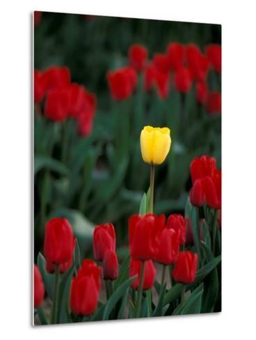 Yellow Tulip, Skagit Valley, Washington, USA-William Sutton-Metal Print