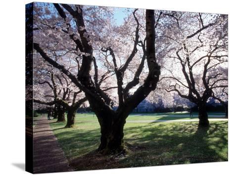 Cherry Blooms at the University of Washington, Seattle, Washington, USA-William Sutton-Stretched Canvas Print