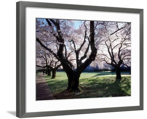 Cherry Blooms at the University of Washington, Seattle, Washington, USA-William Sutton-Framed Art Print