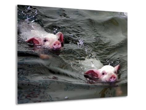Pigs Compete Swimming Race at Pig Olympics Thursday April 14, 2005 in Shanghai, China-Eugene Hoshiko-Metal Print