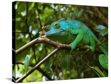 A Chameleon Sits on a Branch of a Tree in Madagascar's Mantadia National Park Sunday June 18, 2006-Jerome Delay-Stretched Canvas Print