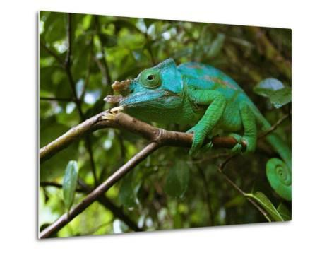 A Chameleon Sits on a Branch of a Tree in Madagascar's Mantadia National Park Sunday June 18, 2006-Jerome Delay-Metal Print