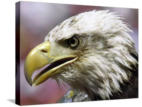 A Bald Eagle from the World Bird Sanctuary Looks on During the Playing of the National Anthem--Stretched Canvas Print