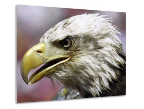 A Bald Eagle from the World Bird Sanctuary Looks on During the Playing of the National Anthem--Metal Print