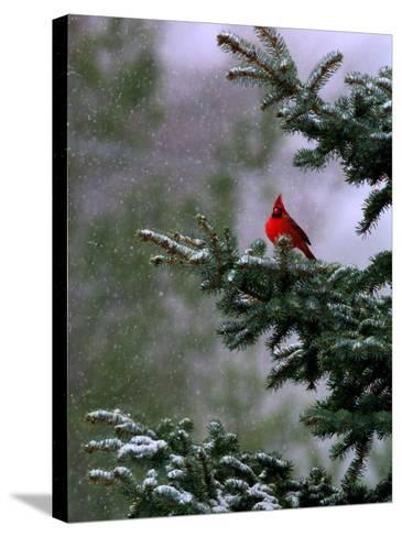 A Bright Red Cardinal--Stretched Canvas Print