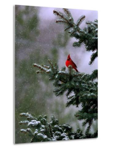 A Bright Red Cardinal--Metal Print