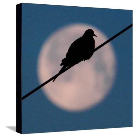 A Mourning Dove Sits Atop a Utility Wire as the Full Moon Sets Over Grand Isle--Stretched Canvas Print