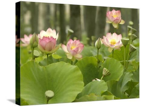 Blooming Water Lotuses Carpet Echo Park Lake--Stretched Canvas Print