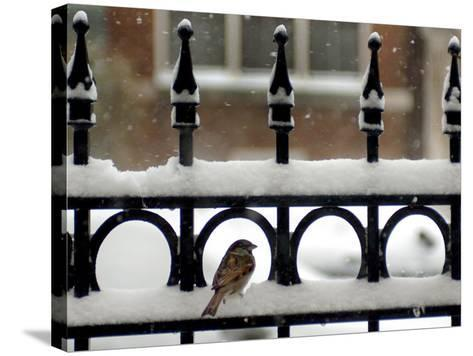 A Sparrow Surveys its Surroundings as It Stops to Rest on a Snow-Covered Fence--Stretched Canvas Print