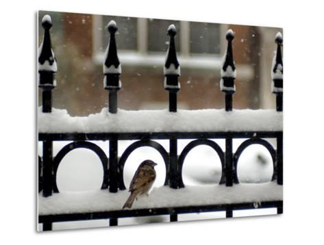 A Sparrow Surveys its Surroundings as It Stops to Rest on a Snow-Covered Fence--Metal Print
