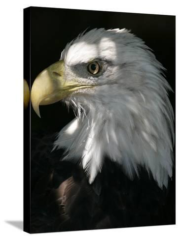 A Bald Eagle Sits in the Shade at the Dallas Zoo--Stretched Canvas Print
