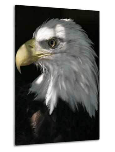A Bald Eagle Sits in the Shade at the Dallas Zoo--Metal Print