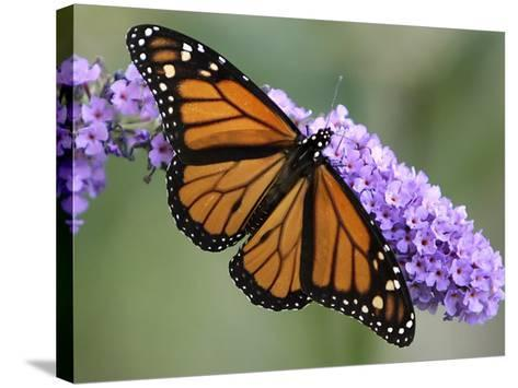 A Monarch Butterfly Spreads its Wings as It Feeds on the Flower of a Butterfly Bush--Stretched Canvas Print