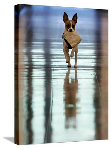 Midge Runs Down the Hallway of the Department after Fetching a Bag of Marijuana--Stretched Canvas Print