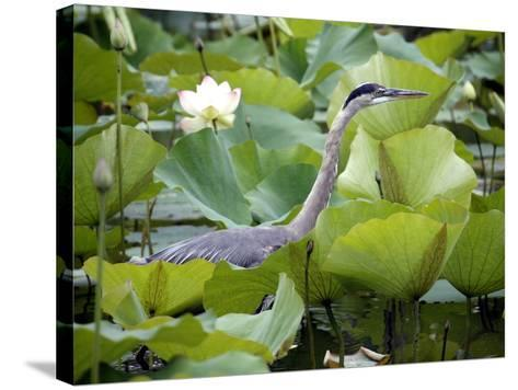 A Great Blue Heron Walks Through a Patch of Lotus Flowers--Stretched Canvas Print