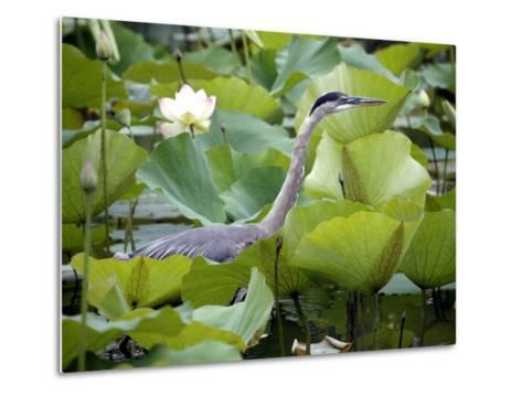 A Great Blue Heron Walks Through a Patch of Lotus Flowers--Metal Print