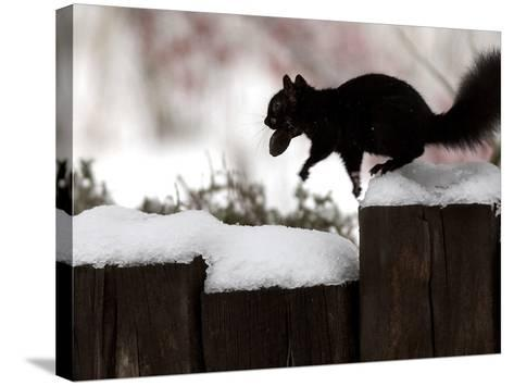 A Black Squirrel Leaps Along a Snow Covered Fence--Stretched Canvas Print
