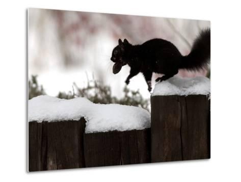 A Black Squirrel Leaps Along a Snow Covered Fence--Metal Print