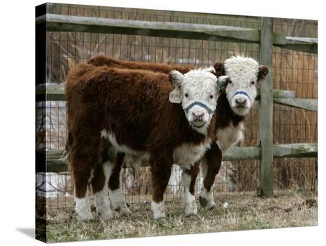 Two Young Cows Graze--Stretched Canvas Print