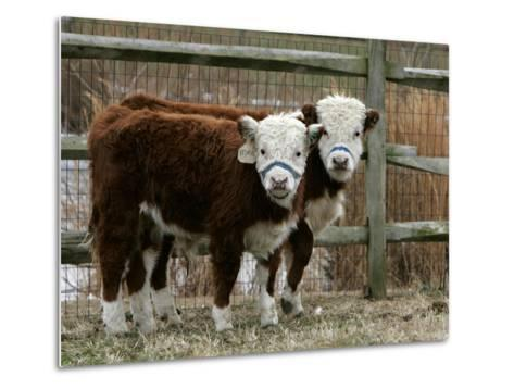 Two Young Cows Graze--Metal Print