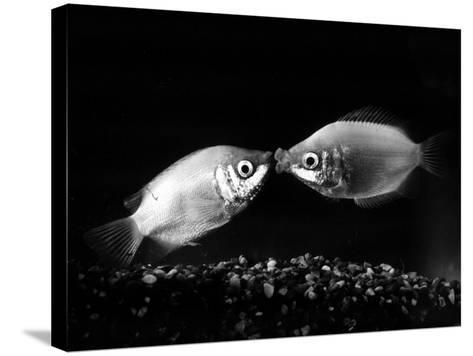 Kissing Gouramis: Romeo on the Right Made a Real Catch, Soon They Will be Swimming Around Together--Stretched Canvas Print
