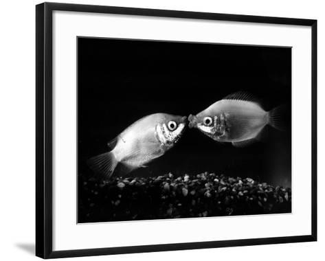 Kissing Gouramis: Romeo on the Right Made a Real Catch, Soon They Will be Swimming Around Together--Framed Art Print