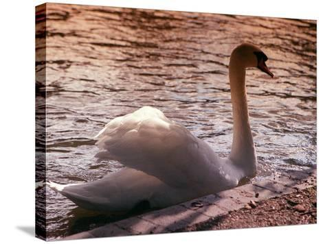 Swan Swimming at Sunset--Stretched Canvas Print