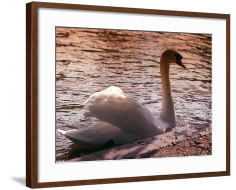 Swan Swimming at Sunset--Framed Art Print