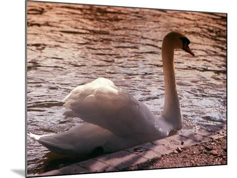 Swan Swimming at Sunset--Mounted Photographic Print