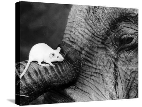 Mouse Crawls up Elephants Trunk--Stretched Canvas Print