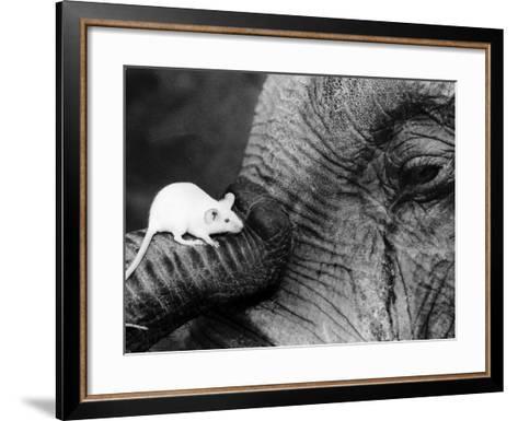 Mouse Crawls up Elephants Trunk--Framed Art Print