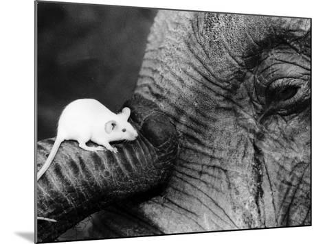 Mouse Crawls up Elephants Trunk--Mounted Photographic Print