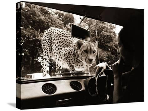 Sikuku the Cheetah Peers into a Car at Woburn Wild Animal Kingdom Bedfordshire, July 1970--Stretched Canvas Print